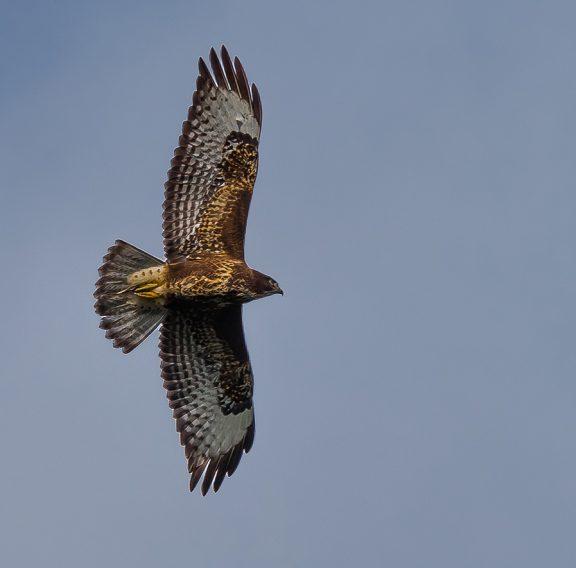 Rovfågel