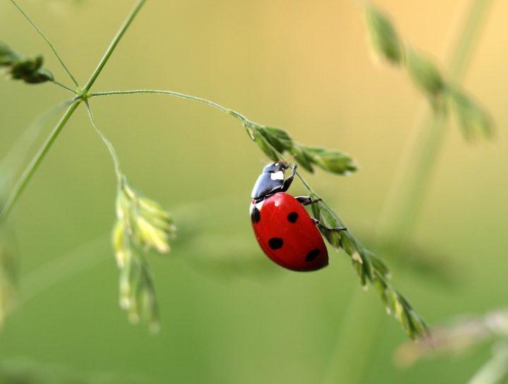 Nyckelpiga på grässtrå